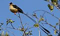 Shaft-tailed whydah, Vidua regia, at Pilanesberg National Park, Northwest Province, South Africa (28039417413).jpg