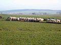 Sheep feeding near Palmer Hill - geograph.org.uk - 637132.jpg
