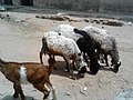 Sheeps and goat in kano state.jpg