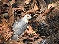 Shikra 6 (Accipiter badius) പ്രാപ്പിടിയൻ .jpg
