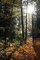 Shining Deep Into The Woods - panoramio.jpg