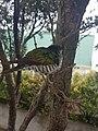 Shining cuckoo on branch.jpg