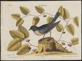 Sialia wilsonii - 1700-1880 - Print - Iconographia Zoologica - Special Collections University of Amsterdam - UBA01 IZ16200376.tif