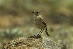 Sicklewing Chat - Natal - South Africa S4E7178 (18784333814).jpg