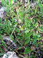 Silene alba Plant 2009April26 SierraMadrona.jpg