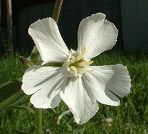 Квітка смілки широколистої