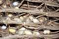 Silk worm empty cocoons 01.jpg