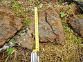 Silt-eaters Altai Mountain 3.jpg