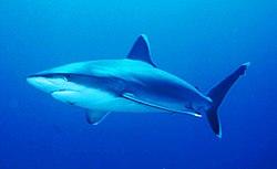Silvertip shark.jpg