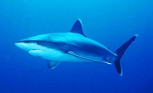 Carcharhinus - Silvertip shark (Carcharhinus albimarginatus)