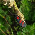 Six-spot Burnet. Zygaena filipendulae stephensi. - Flickr - gailhampshire (1).jpg