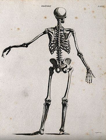 file:skeleton; seen from behind. line engraving by campbell, 1816, Skeleton