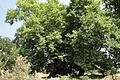 Skhtorashen, Platane tree 2000 years old - panoramio.jpg