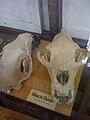 Skulls of Black Bear.jpg