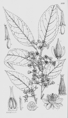 Sladenia celastrifolia, Illustration