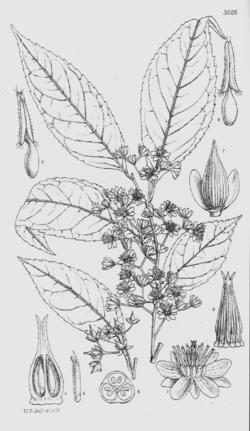 Sladenia celastrifolia.png