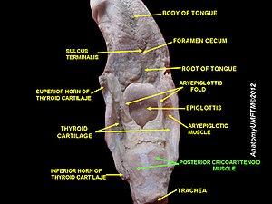 Posterior cricoarytenoid muscle - Image: Slide 13sss