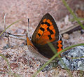 Small Copper.JPG