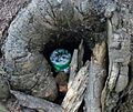 Small geocache in a stump, revealed.jpg