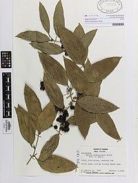 Smilax domingensis Willd. (AM AK137372).jpg