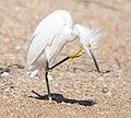 Snowy Egret, east Florida coast 02.jpg