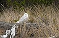Snowy owl (6701322987).jpg