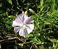 Soapwort (Saponaria officinalis), Bennane Head, South Ayrshire.jpg