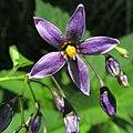 Solanum dulcamara20110612 253.jpg