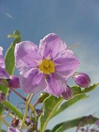 Solanum glaucophyllum 3