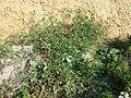 Solanum lycopersicum sl10.jpg