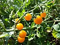 Solanum lycopersicum sl4.jpg