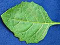 Solanum ptychanthum 5437092.jpg