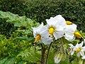 Solanum sisymbriifolium01.JPG