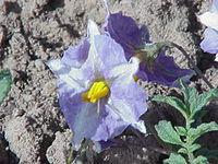 Solanum spegazzinii2