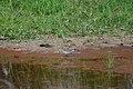Solitary Sandpiper (5967698782).jpg
