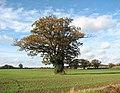 Solitary oak in field west of Leavy Oak Lane - geograph.org.uk - 1565515.jpg