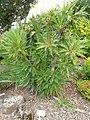 Sonchus canariensis - University of California Botanical Garden - DSC08944.JPG