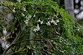 Sonjna (Moringa oleifera) at Jayanti, Duars, West Bengal W2 IMG 5249.jpg