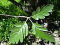 Sorbus hybrida OB10.jpg
