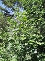 Sorbus torminalis.jpg