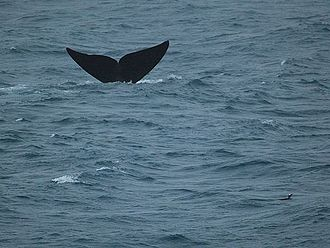 Southern right whale - Fluking off South Georgia nearby a gentoo penguin.