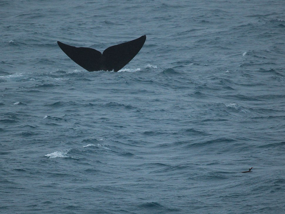 Southern Right Whale and Gentoo Penguin (5747485418)