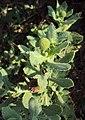 Sphaeranthus indicus 10.JPG