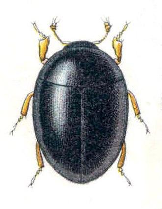 Sphaerius - Sphaerius acaroides