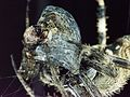 Spider with entombed insect.jpg