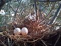 Spilopelia senegalensis Egg.jpg