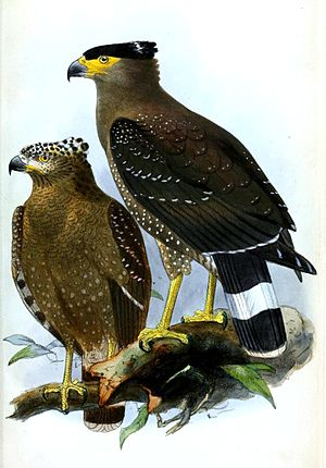 Crested serpent eagle - Subspecies S. c. pallidus from the lowlands of northern Borneo