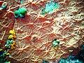 Spirastrella cunctatrix Linosa Archi 044.jpg