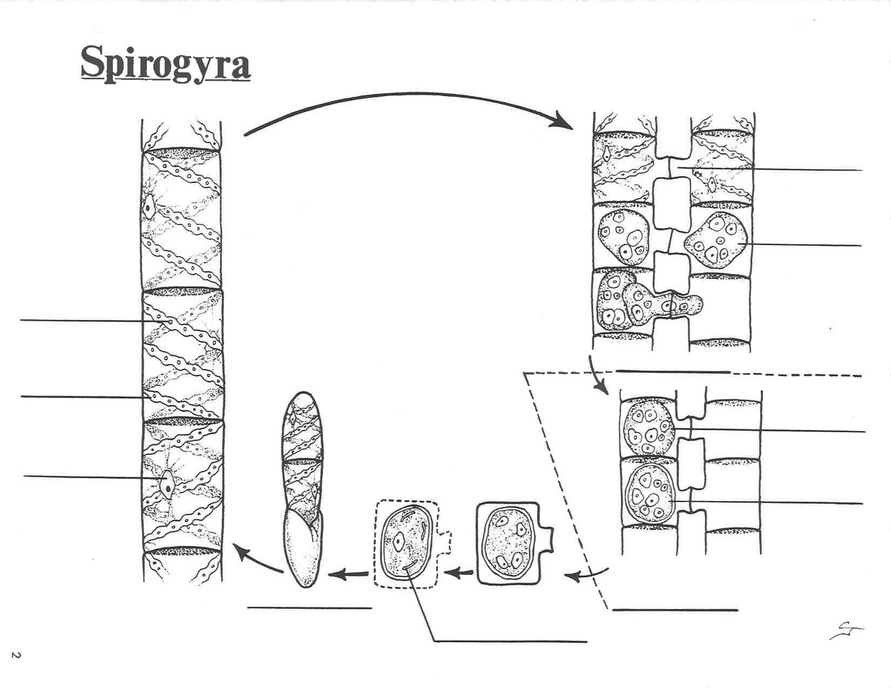 Free Worksheets cell growth and reproduction worksheet : File:Spirogyra life cycle.pdf - Wikimedia Commons