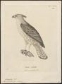 Spizaëtus cirrhatus - 1700-1880 - Print - Iconographia Zoologica - Special Collections University of Amsterdam - UBA01 IZ18100241.tif